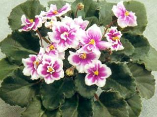 Afficher le sujet exposition de violette for Violette africane
